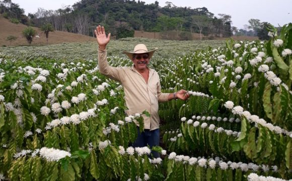 Cafezal em flor (Novo Horizonte do Oeste)